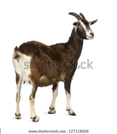 Rear view of a Toggenburg goat looking away against white background - stock photo