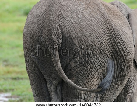 rear view of an elephant - stock photo