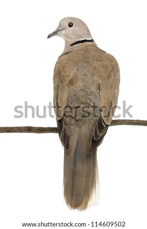 Rear view of an Eurasian Collared Dove perched on branch, Streptopelia decaocto, often called the Collared Dove against white background - stock photo