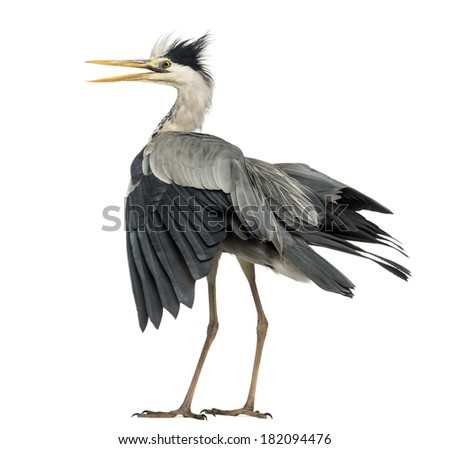 Rear view of an Grey Heron flapping its wings, screaming, Ardea Cinerea, 5 years old, isolated on white - stock photo