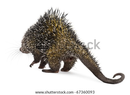 Rear view of Brazilian Porcupine, Coendou prehensilis, walking in front of white background - stock photo