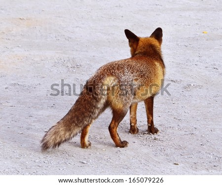 Rear view of brown fox  - stock photo