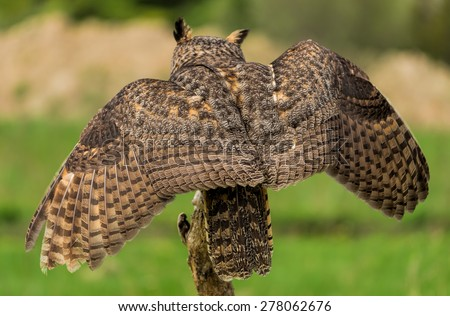 Rear view of Great Horned Owl - stock photo