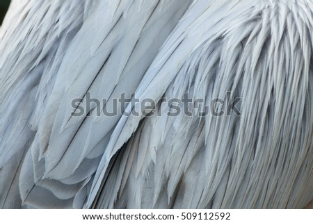 Rear view of pelican plumage, closeup detailed