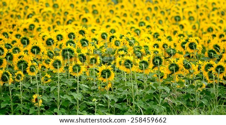 Rear view of sunflower field in the rain - stock photo