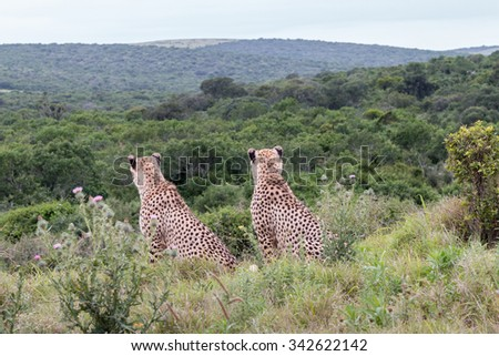 Rear view of two male, sitting adult Cheetah keeping watch, Acinonyx jubatus, in South Africa - stock photo
