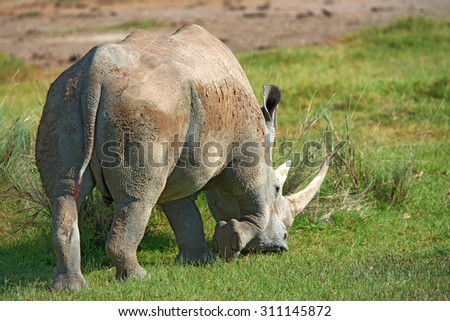 Rear view of white rhinoceros (Ceratotherium simum) grazing in national park Lake Nakuru, Kenya - stock photo
