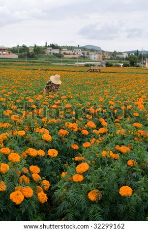 Receives the aztec marigold flower grower - stock photo