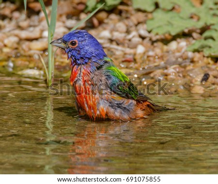 Recently bathed Painted Bunting in South Texas