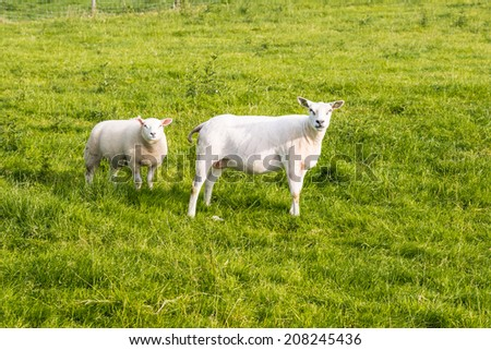 Recently shorn ewe stands with her lamb in the grass looking curiously. - stock photo