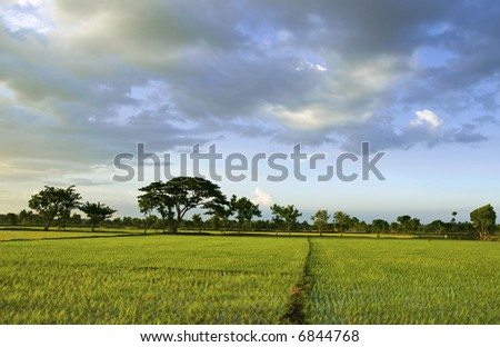 Recently transplanted paddy field in deep south indian village