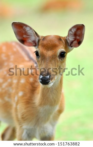 Recognition. Similar in size and pelage to fallow deer, but darker. - stock photo