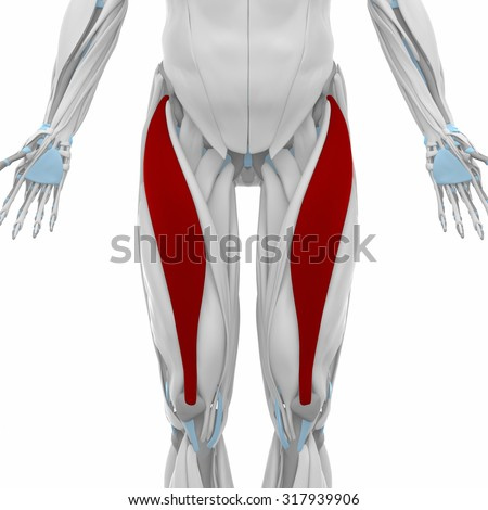 Rectus femoris - Muscles anatomy map - stock photo