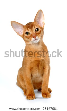 Red abyssinian kitten sits and curiously looking at camera isolated on white - stock photo