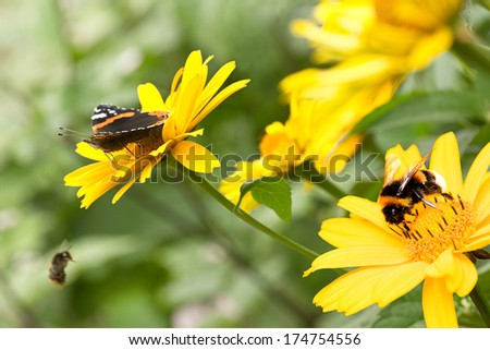 Red admiral butterfly and bumble bees on false sunflowers or Heliopsis helianthoides in the garden in summer - horizontal - stock photo
