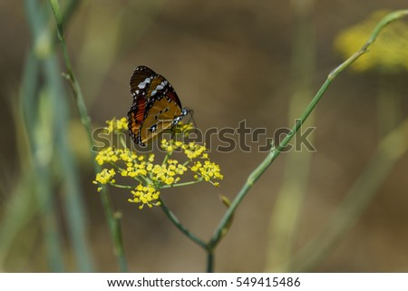 Red Admiral butterfly collecting nectar from wild yellow flowers.