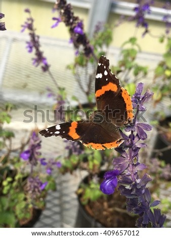 Red admiral butterfly feeding on a henery duelberg salvia.