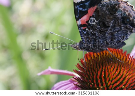 Red Admiral Butterfly on a coneflower. - stock photo
