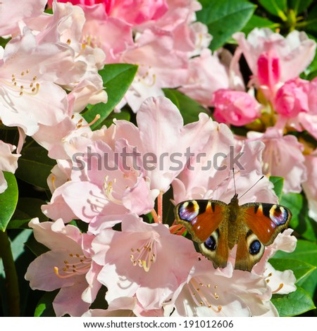 red admiral (Vanessa atalanta) butterfly on rhododendron flower - stock photo