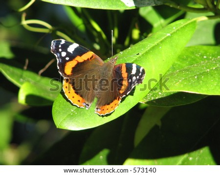red admiral (Vanessa atalanta) butterfly on rhododendron leaf