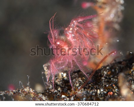 Red algae shrimp in Bali Sea, Indonesia