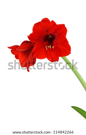 Red amaryllis Hippeastrum flowers with stern isolated on white - stock photo