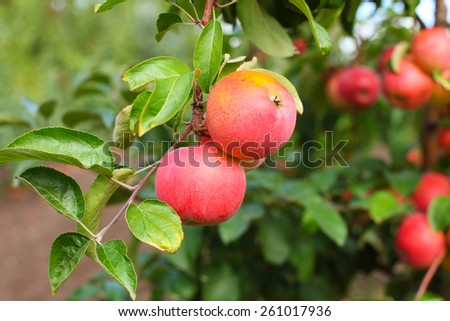 Red Amulet apples on apple tree branch - stock photo