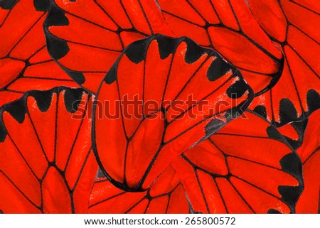 Red and black background of beautiful golden Birdwing butterfly - stock photo