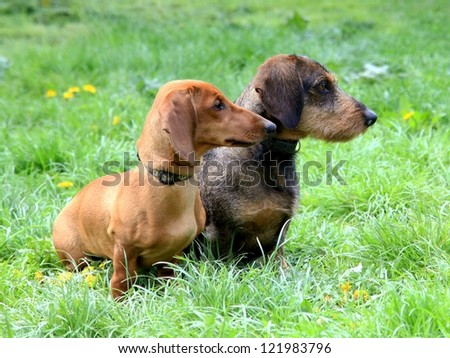 Red and black Dachshund Dogs posing on the green lawn - stock photo