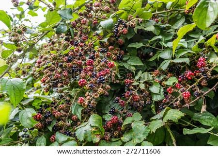 Blackberry Bush Stock Images, Royalty-Free - 89.5KB