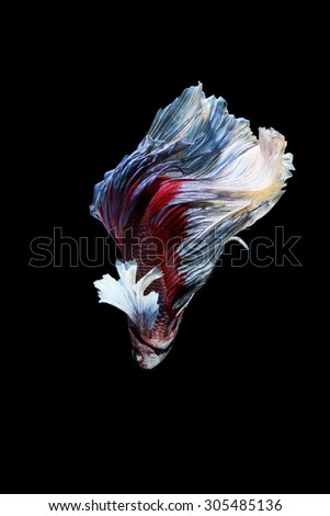 Red and blue siamese fighting fish, betta fish isolated on black - stock photo