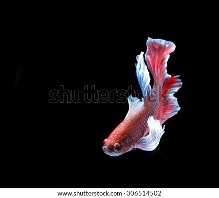 Red and blue siamese fighting fish, betta fish isolated on black background. - stock photo