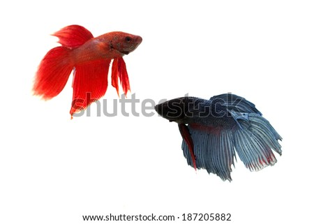 red and blue siamese fighting fish on white background - stock photo