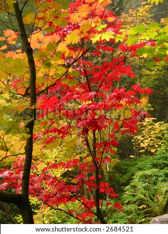Red and gold fall foliage - stock photo