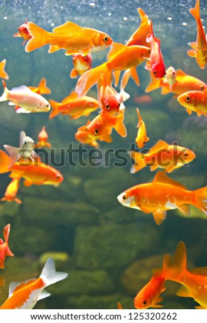 Red and gold fishes in aquarium - stock photo