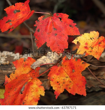 Red and gold maple leaves against a forest floor - stock photo