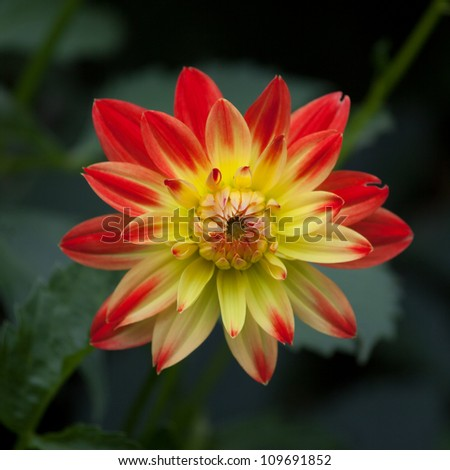 Red and gold marigold in bloom - stock photo