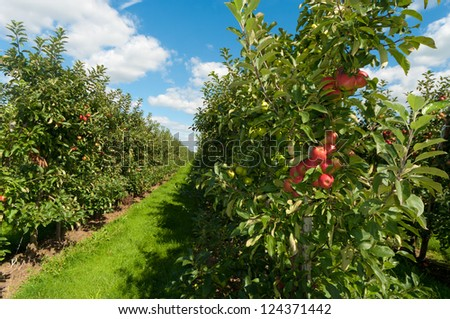 red and green apples in an orchard - stock photo