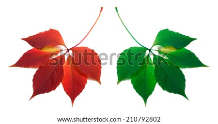 Red and green leafs isolated on white background - stock photo