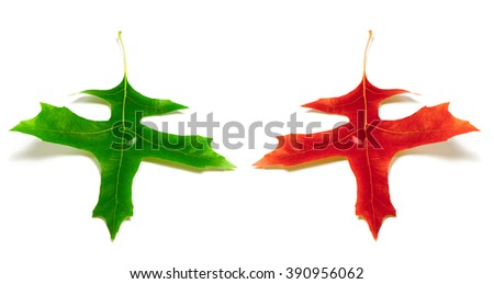Red and green leafs of oak isolated on white background. Close-up view. - stock photo