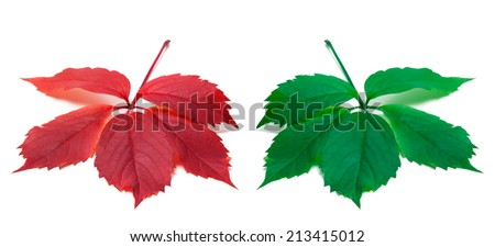 Red and green leaves (Virginia creeper leaf). Isolated on white background. - stock photo