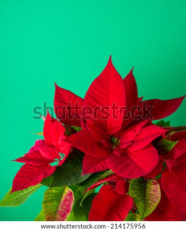 Red and green poinsettia plant for Christmas isolated on green teal background - stock photo