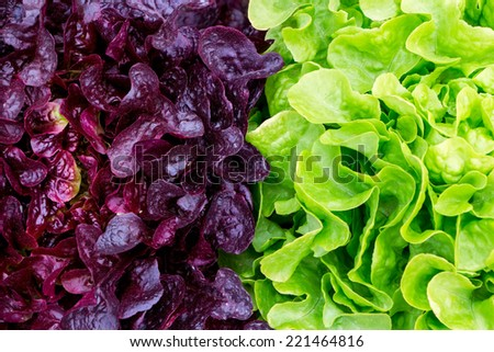 red and green salad in a garden  - stock photo