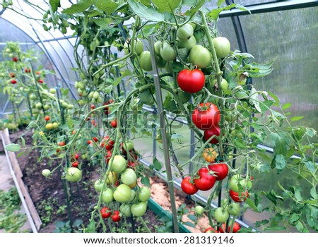 Red and green tomatoes ripening on the bush in a greenhouse of transparent polycarbonate - stock photo