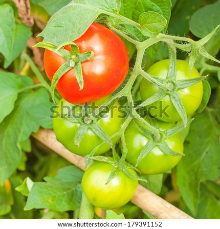 red and greenorganic tomato plant and fruit - stock photo