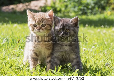 red and grey striped the British kittens on a green grass