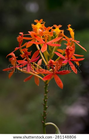 red and orange color mixed flower. nature photography - stock photo