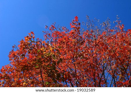 Red and Orange Foliage in front of a Deep Blue Sky