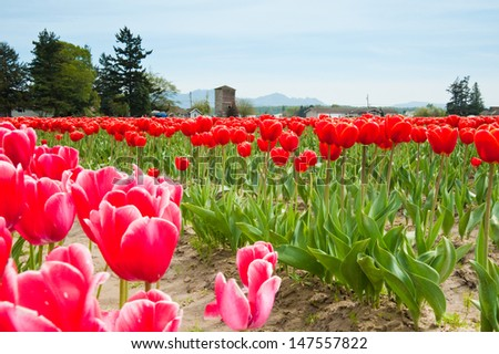 Red and pink tulips in Skagit Valley