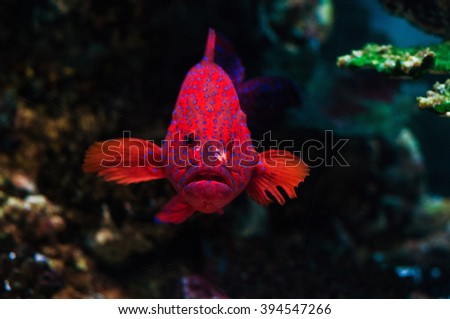 Red and spotted barred Coronation Trout (Grouper, Groper) see the camera.  - stock photo